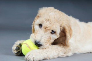 Goldendoodles the Most Preferred Puppies in San Francisco, Miami and Denver